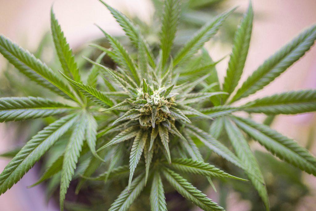 potential value of marijuana