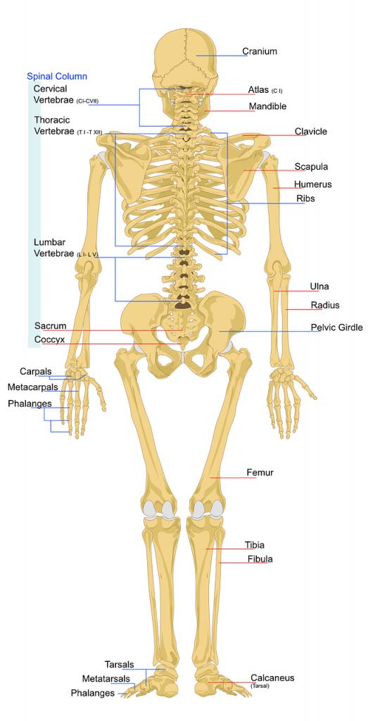 marrow of long bones