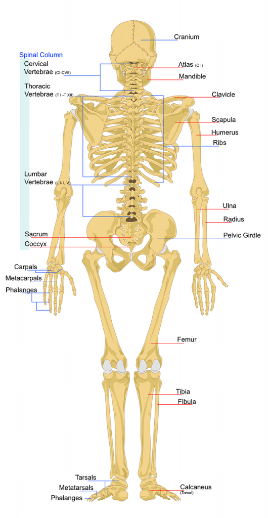 part of the axial skeleton?
