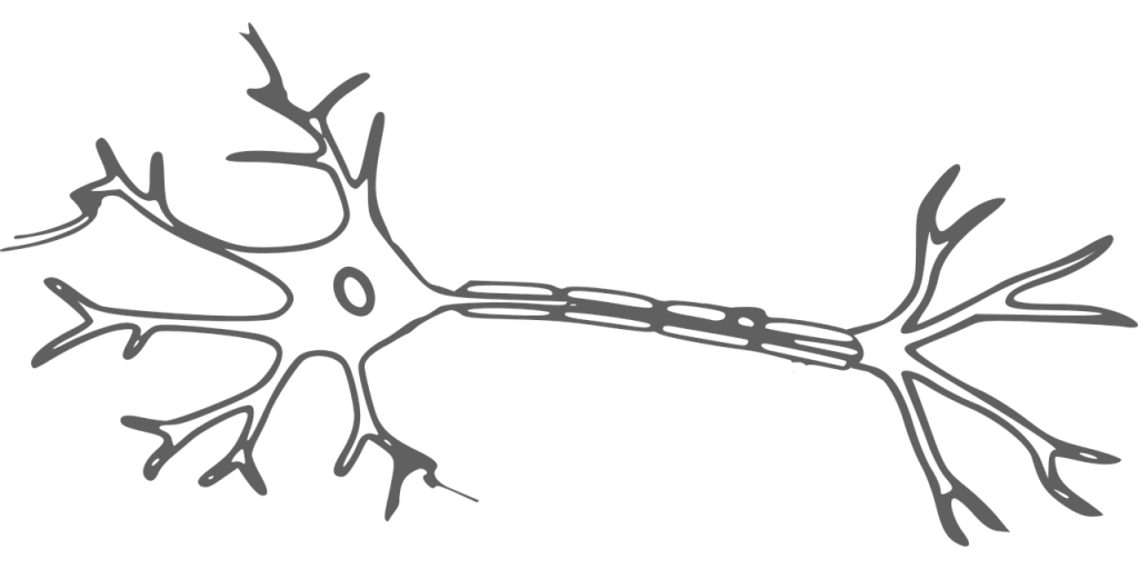 axons of the secondary neuron
