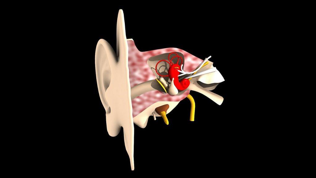 sense organs for hearing and balance