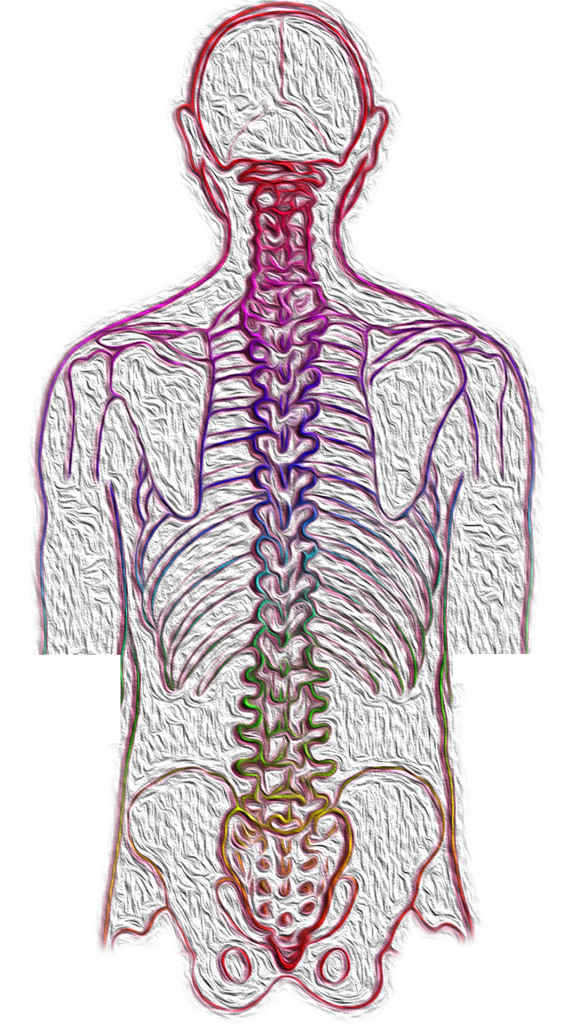 The motor (efferent) division of the peripheral nervous system
